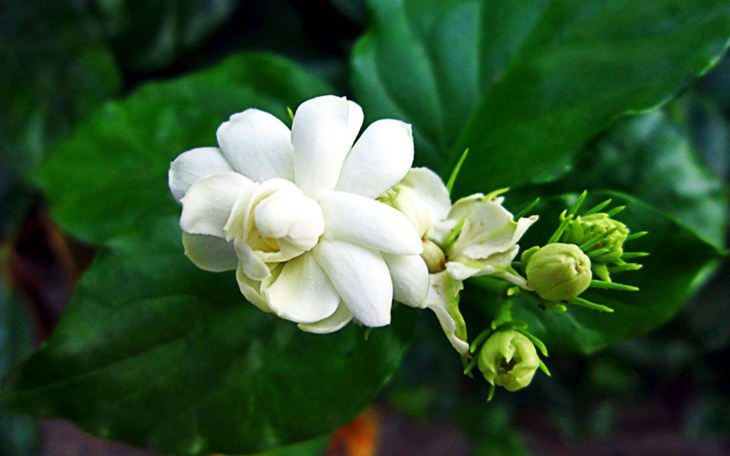 Hoa Nhài Có Công Dụng Gì ?