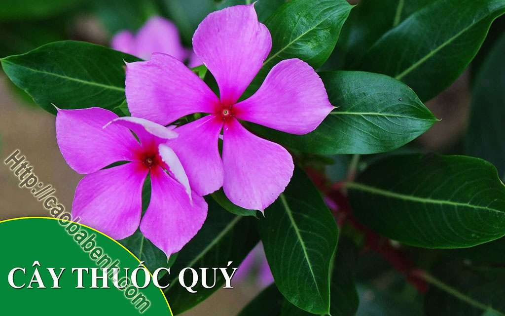 Địa Chỉ Bán Cây Dừa Cạn Uy Tín
